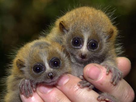 This is the first time Iu0027ve seen a Slow loris (cellar.org) & cellar.org on reddit.com