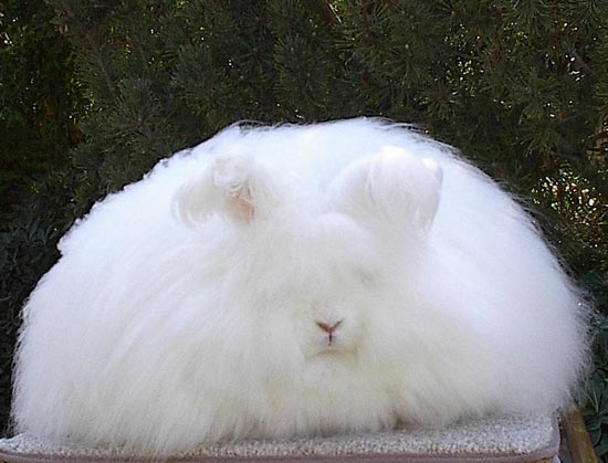 Very Fluffy This is One Very Fluffy Bunny