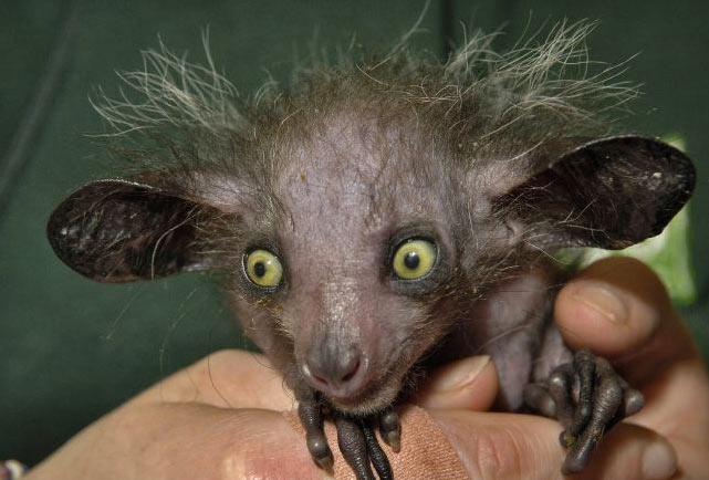 Baby aye aye lemur - photo#19