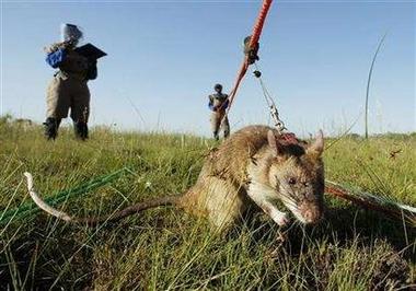 De-mining rat
