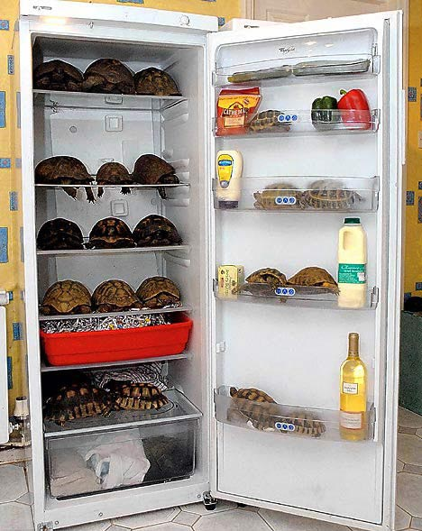 Mrs Neely said  Itu0027s much easier to maintain a constantly cool temperature with a fridge than it is with our ever-warming climate.  & February 26 2008: Tortoises Hibernate - The Cellar
