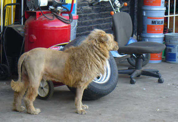 Chow Chow Lion Cut Chow chow lion haircut chow