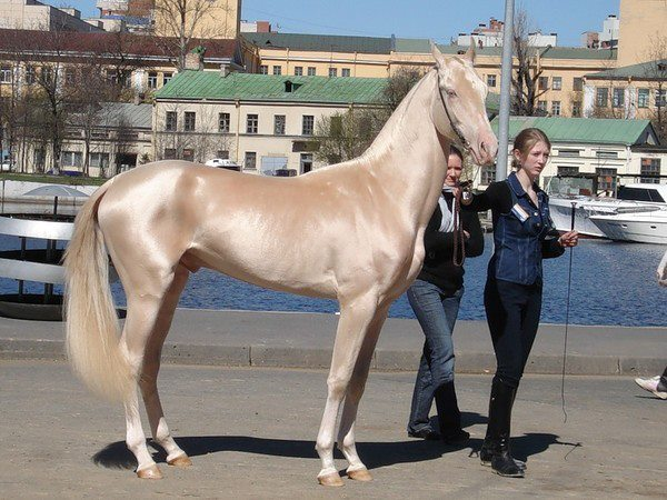 What people think of when they think Akhal teke