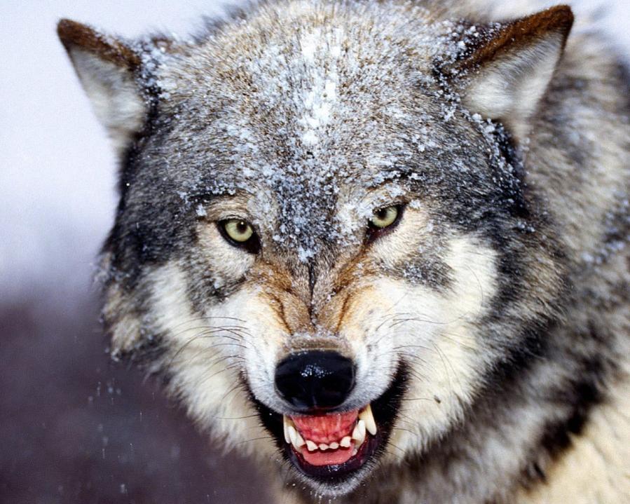 Name:  Bared_Teeth_Grey_Wolfb.jpg Views: 321 Size:  118.2 KB