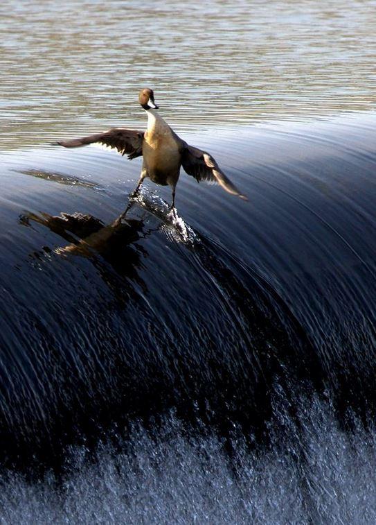 Name:  duck.JPG Views: 132 Size:  90.3 KB