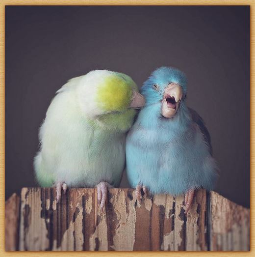 Name:  pacificparrotlets.JPG
