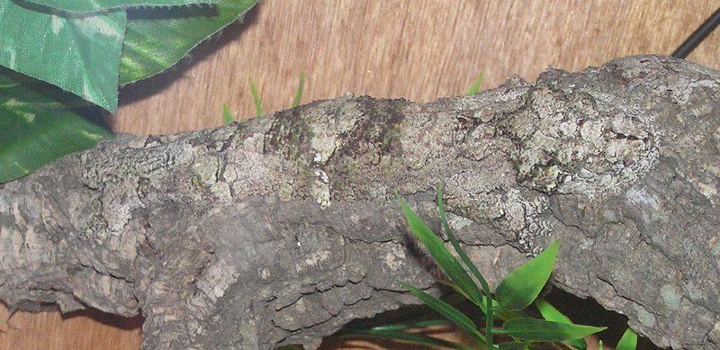 Name:  Gekkoninae_Uroplatus_sikorae_camouflage_horiza.jpg Views: 1107 Size:  88.0 KB