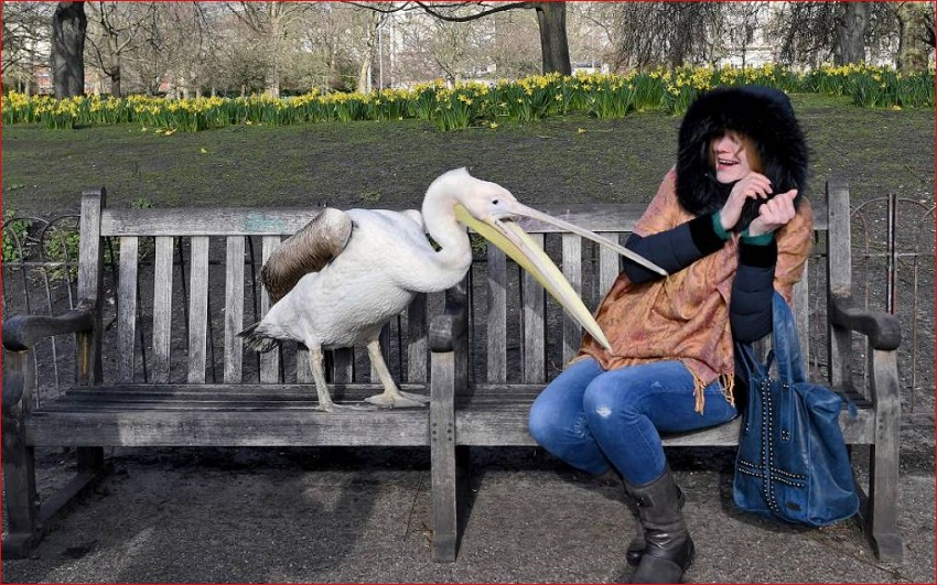 Name:  Pelican.JPG Views: 145 Size:  258.5 KB