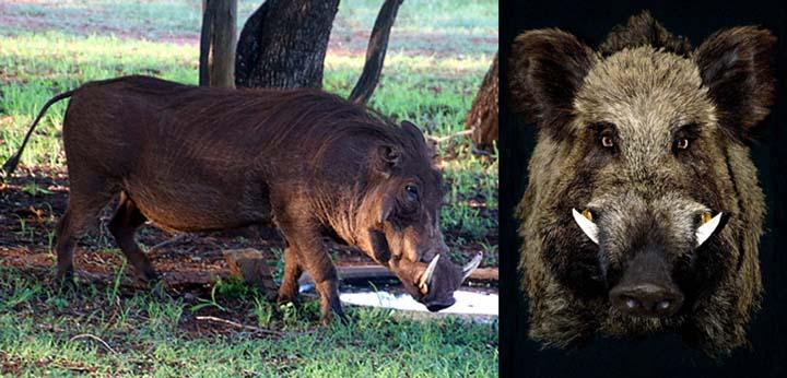 Name:  wild-boar_840x480.jpg Views: 26 Size:  58.6 KB