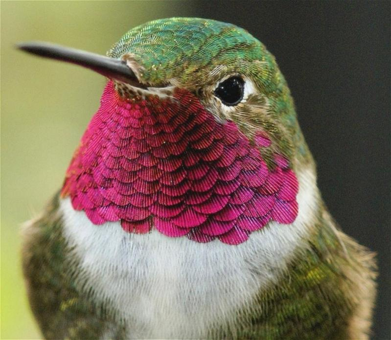Name:  hummingbirdcloseup.jpg Views: 247 Size:  83.7 KB
