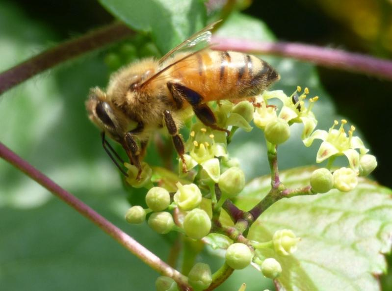 Name:  Bee small P1000804.jpg Views: 235 Size:  50.9 KB