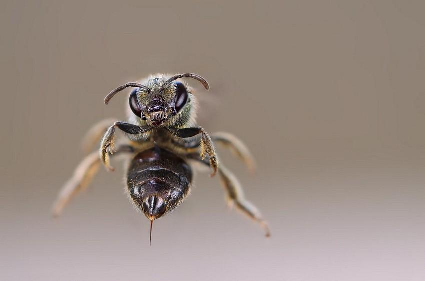 Name:  honeybeestinger.jpg Views: 200 Size:  47.7 KB