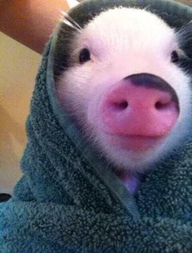 Name:  l-Pig-in-a-blanket.jpg