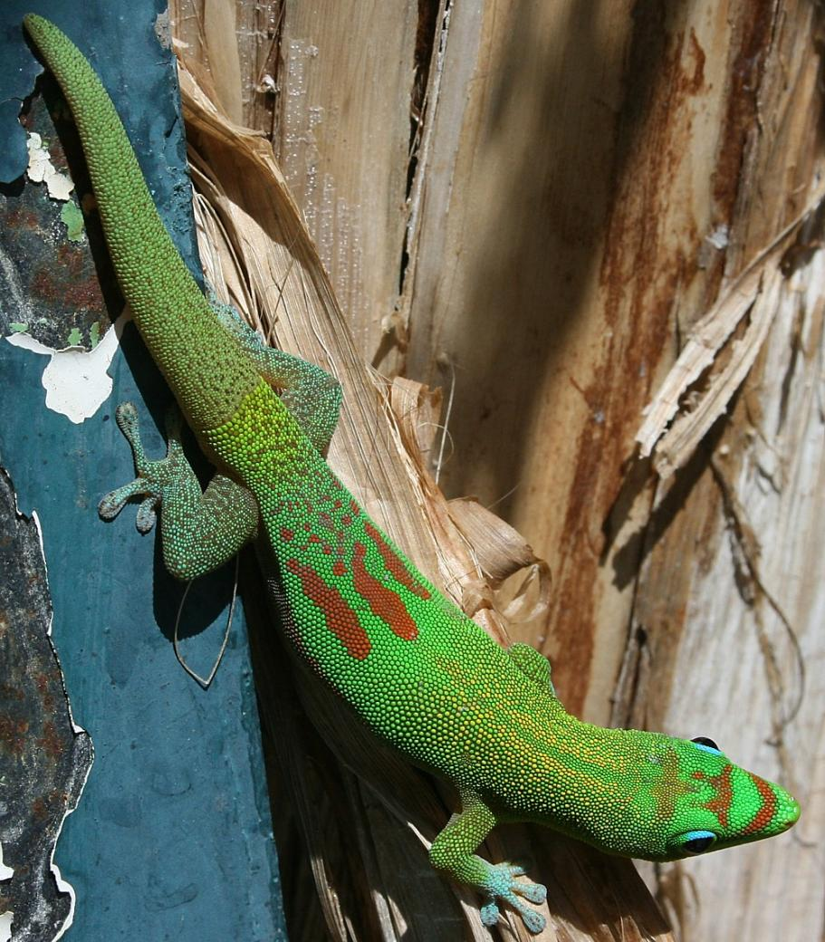 Name:  Gold Dust Gecko.jpg