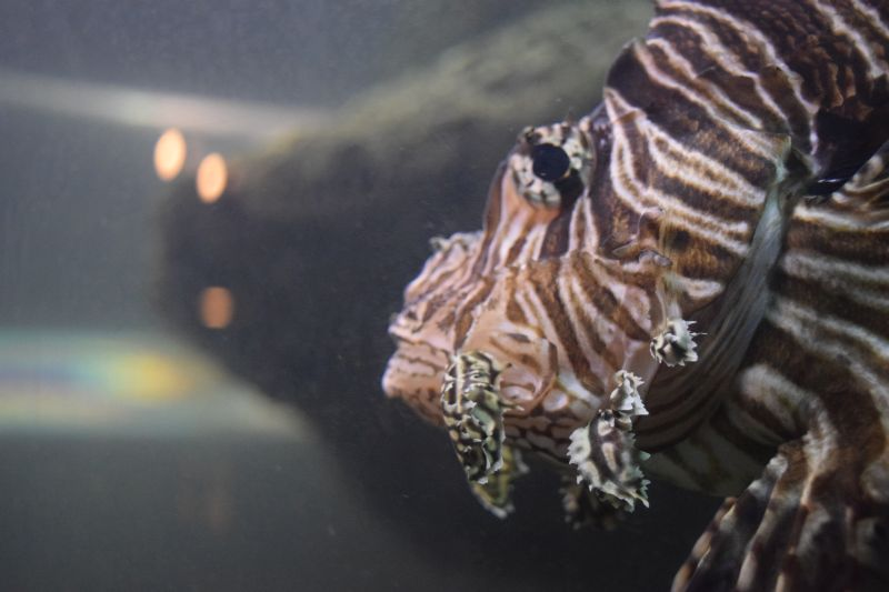 Name:  FaveLionfish-001.JPG Views: 104 Size:  112.7 KB