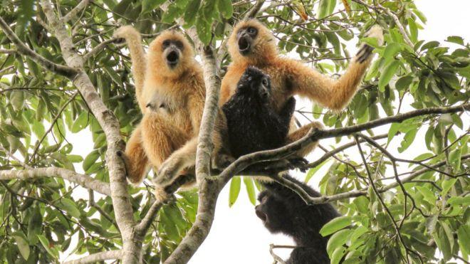 Name:  singing gibbons.png Views: 457 Size:  477.8 KB