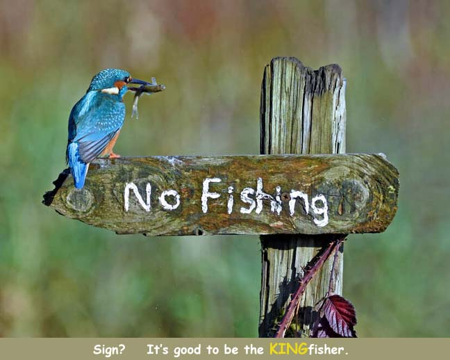 Name:  kingfisher2.jpg Views: 130 Size:  48.1 KB