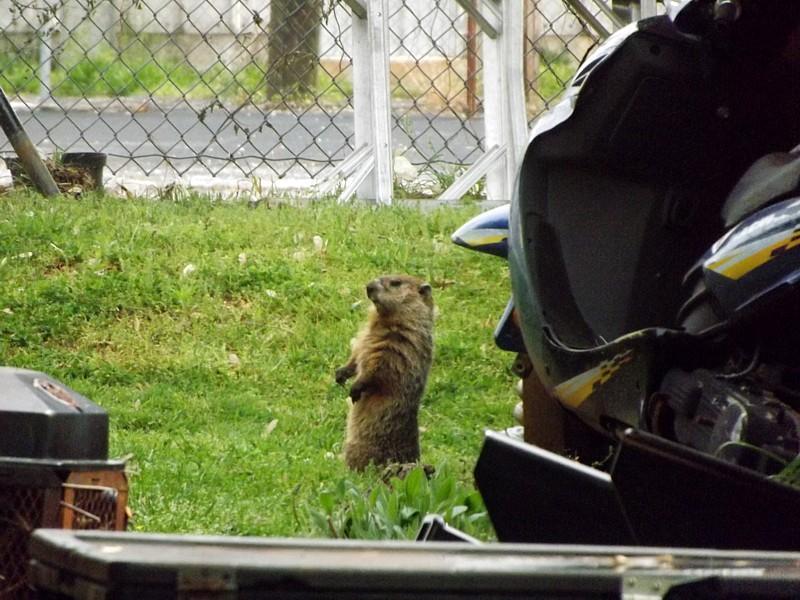 Name:  Groundhog1.jpg Views: 156 Size:  92.3 KB