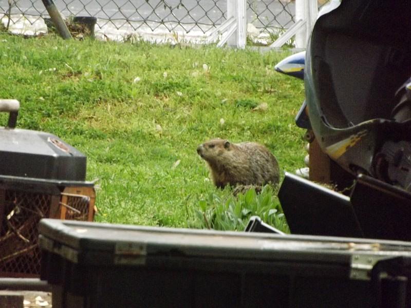 Name:  Groundhog2.jpg Views: 138 Size:  165.8 KB