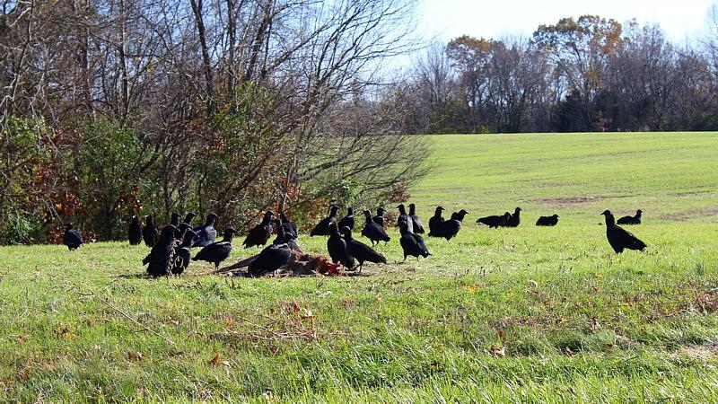 Name:  American Black Vultures 3.jpg Views: 621 Size:  219.2 KB