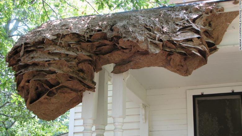 Name:  Alabama Wasps 1.jpg Views: 39 Size:  66.7 KB