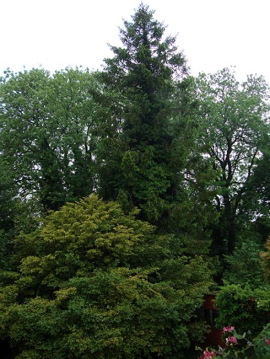 Name:  Conifer 1.JPG Views: 51 Size:  260.2 KB