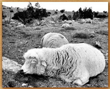 Name:  sheep.JPG Views: 48 Size:  27.7 KB