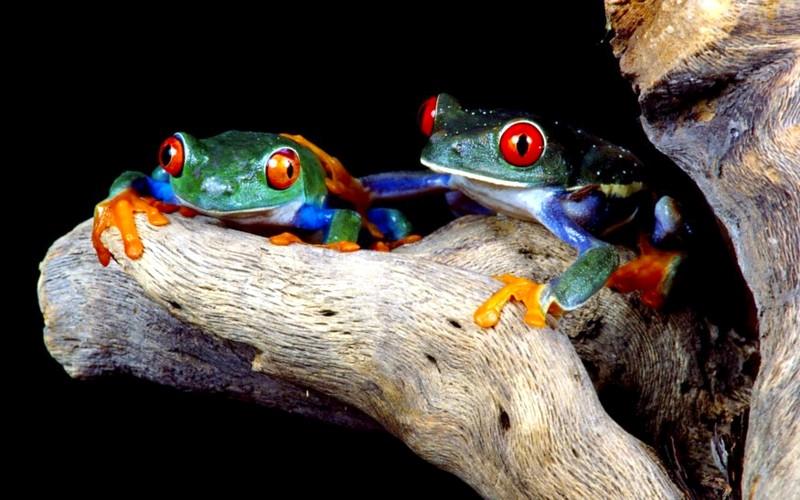 Name:  matedtreefrogs.jpg Views: 467 Size:  108.0 KB