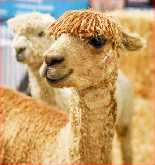 Name:  Elton Alpaca.JPG Views: 206 Size:  65.9 KB