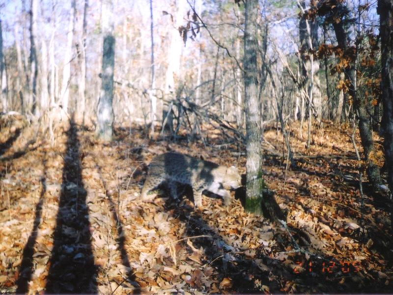 Name:  Bobcat on TrailCam.jpg