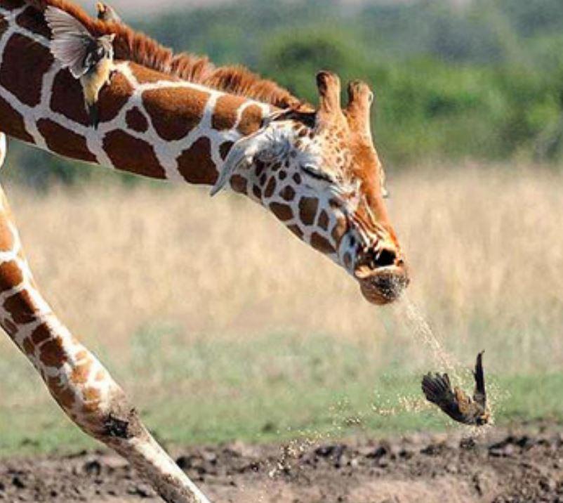 Name:  giraffe2.JPG Views: 130 Size:  79.6 KB