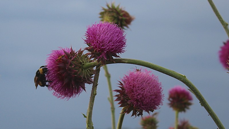 Name:  beethistle.jpg