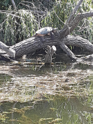 Name:  snapping turtle.png Views: 20 Size:  274.5 KB