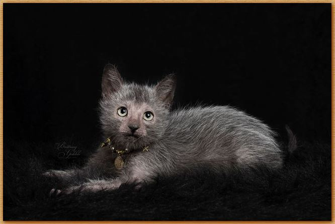Name:  Lykoi Cat.JPG Views: 927 Size:  42.1 KB