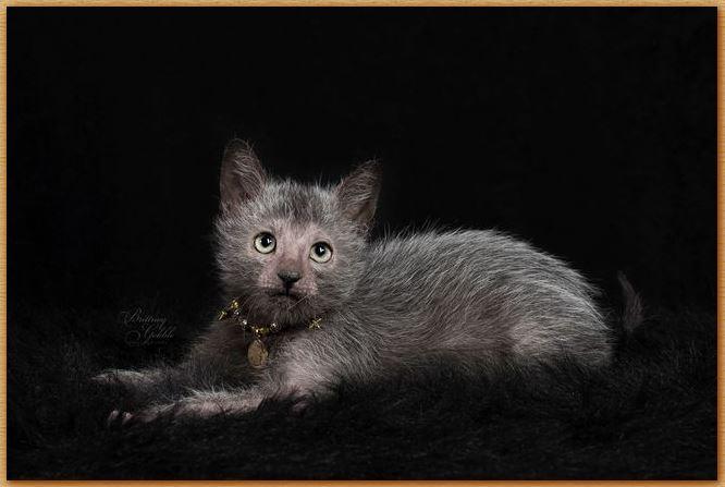 Name:  Lykoi Cat.JPG Views: 790 Size:  42.1 KB