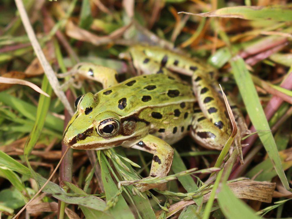 Name:  leopard-frog-new-york.jpg Views: 165 Size:  114.1 KB