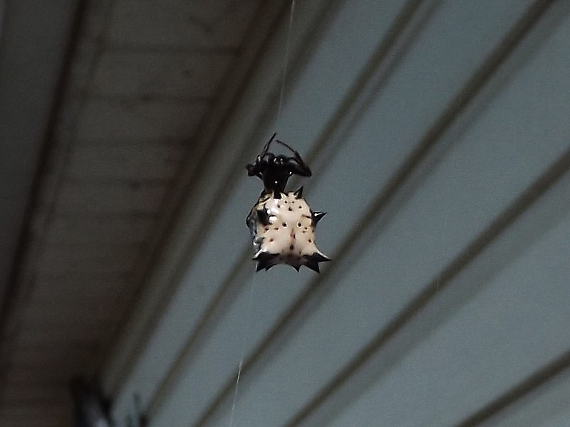 Name:  Spiny Orb-Weaver 1.jpg
