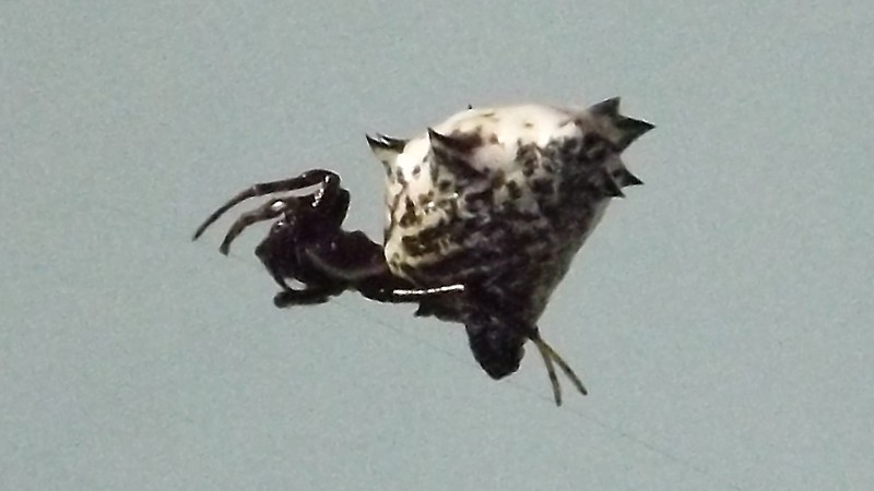 Name:  Spiny Orb-Weaver 2.jpg