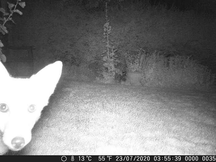 Name:  Curious Fox.JPG Views: 247 Size:  146.8 KB
