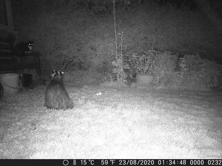 Name:  Badger v Cat.JPG Views: 153 Size:  184.9 KB