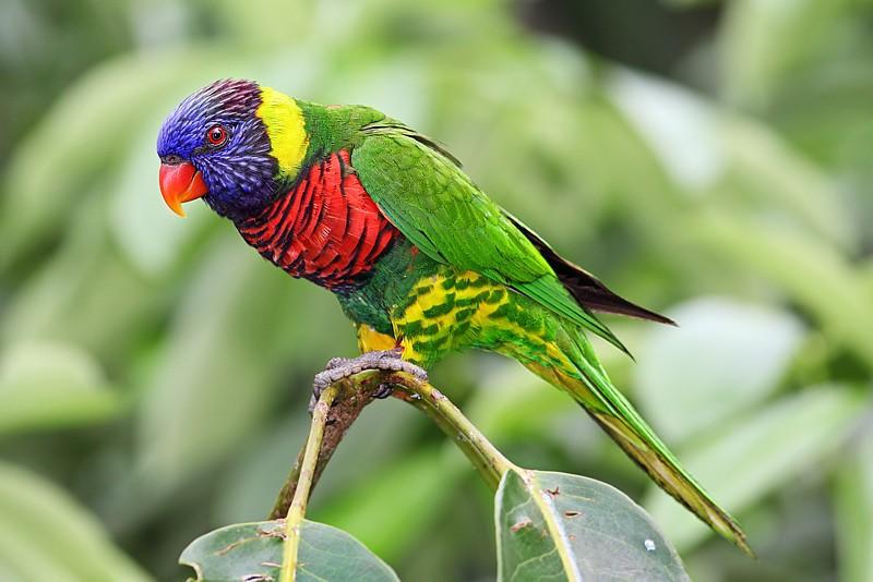 Name:  Trichoglossus_haematodus_-Jurong_Bird_Park,_Singapore_-Dec2009.jpg Views: 55 Size:  90.3 KB