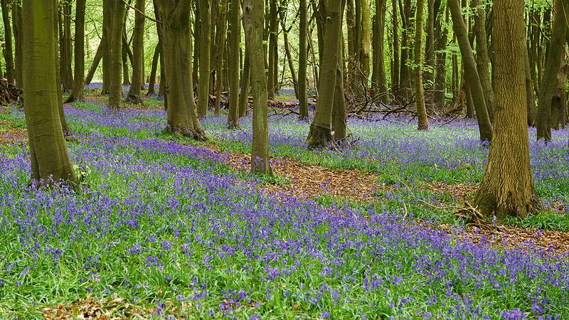 Name:  Bluebells,_Ashridge_Estate,_2015a.jpg Views: 226 Size:  218.7 KB
