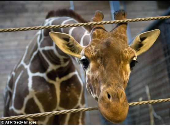 Name:  giraffe_Marius.JPG Views: 255 Size:  46.3 KB