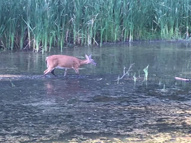 Name:  Marsden deer.jpg Views: 104 Size:  95.1 KB