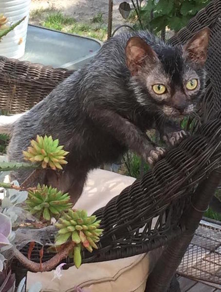 Name:  8-month-old_male_Lykoi.jpg Views: 394 Size:  63.7 KB