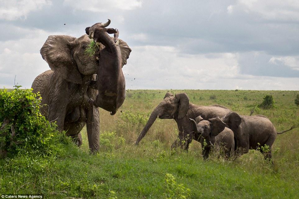 Name:  elephantvswaterbuffalo.jpg Views: 194 Size:  169.4 KB