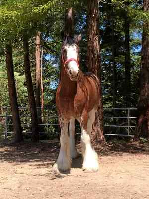 Name:  CLYDESDALE.jpg Views: 95 Size:  17.8 KB