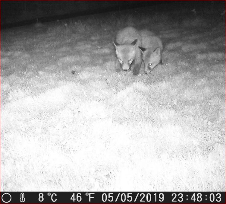 Name:  Fox Cubs.JPG Views: 52 Size:  169.2 KB