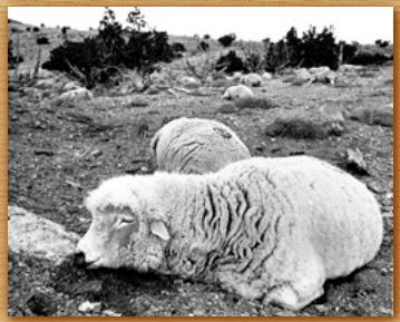 Name:  sheep.JPG