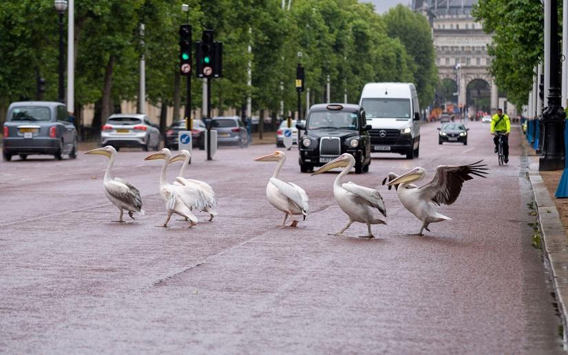 Name:  Pelican crossing.jpg Views: 551 Size:  191.9 KB